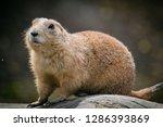 Graundhog Prairie Dog  Marmot ...