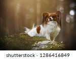 Stock photo dog portrait in the forest between flowers papillon with very good behaviour 1286416849