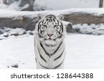 Snow Tiger.