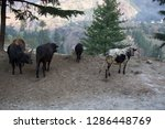 cattle grazing in the pre... | Shutterstock . vector #1286448769