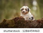 Stock photo puppy discover the world australian shepherd puppy 1286454463