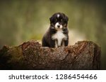 Stock photo puppy discover the world australian shepherd puppy 1286454466