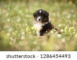 Stock photo puppy discover the world australian shepherd puppy 1286454493