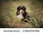 Stock photo puppy discover the world australian shepherd puppy 1286454586