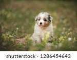 Stock photo puppy discover the world australian shepherd puppy 1286454643
