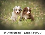 Stock photo puppies discover the world australian shepherd puppies age weeks 1286454970