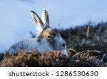 Stock photo white mountain hare lepus timidus in scottish highland these hare change their fur colour white 1286530630