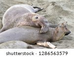 male elephant seal attempting... | Shutterstock . vector #1286563579