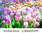 colorful of tulip flowers and... | Shutterstock . vector #1286620399