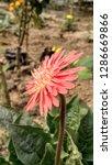 red gerbera flower | Shutterstock . vector #1286669866