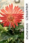 red gerbera flower | Shutterstock . vector #1286669869