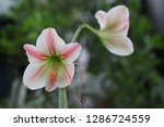 red and white amaryllis flower...   Shutterstock . vector #1286724559