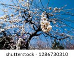 plum blossoms around osaka... | Shutterstock . vector #1286730310