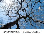 plum blossoms around osaka... | Shutterstock . vector #1286730313