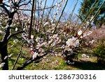 plum blossoms around osaka... | Shutterstock . vector #1286730316