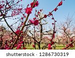 plum blossoms around osaka... | Shutterstock . vector #1286730319