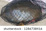 dead turtle entangled in... | Shutterstock . vector #1286738416