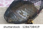 dead turtle entangled in... | Shutterstock . vector #1286738419