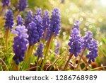 muscari flower.muscari...   Shutterstock . vector #1286768989