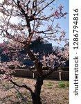 plum blossoms around osaka... | Shutterstock . vector #1286794816