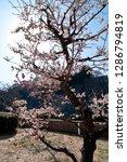 plum blossoms around osaka... | Shutterstock . vector #1286794819