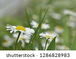 chamomile flowers in the summer ...   Shutterstock . vector #1286828983