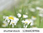 chamomile flowers in the summer ...   Shutterstock . vector #1286828986