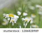 chamomile flowers in the summer ...   Shutterstock . vector #1286828989
