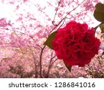 Red Camellia In Cherry Blossom...