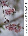sakura flower blossom  symbol... | Shutterstock . vector #1286946319