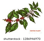 coffee tree colorful sketch...   Shutterstock .eps vector #1286946970