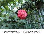 nice rose flower in family...   Shutterstock . vector #1286954920