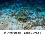 a blue spotted kuhl's stingray... | Shutterstock . vector #1286969656