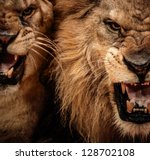 Close Up Shot Of Two Roaring...
