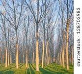 Poplar Tree Forest In Winter....