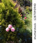 roze end tui   Shutterstock . vector #1287093940