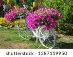 Petunia  Petunias In Pots On A...