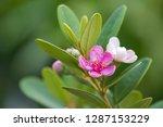 pink flowers of rose myrtle... | Shutterstock . vector #1287153229