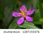 pink purple flower of singapore ... | Shutterstock . vector #1287153376