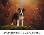 Stock photo puppy in autumn colourful portrait boston terrier puppy in autumn 1287169453