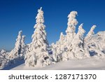 snowy spruce trees  national... | Shutterstock . vector #1287171370