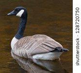 Resting Canada Goose Resting O...