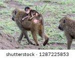 family baboon in manyara | Shutterstock . vector #1287225853
