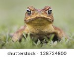 cane toad   bufo marinus   also ... | Shutterstock . vector #128724800
