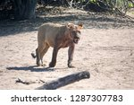 Young Male Lion With Blood On...