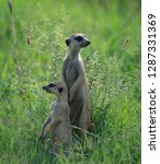suricates  also known as a... | Shutterstock . vector #1287331369