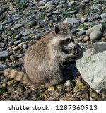 side view of a baby raccoon... | Shutterstock . vector #1287360913