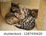 Stock photo bengal kittens leopard kittens funny bengal kittens 1287434620