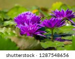 beautiful of violet water lily... | Shutterstock . vector #1287548656
