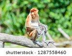 the proboscis monkey  nasalis... | Shutterstock . vector #1287558460